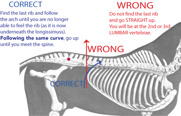 Saddle support Area: Where is the last rib?