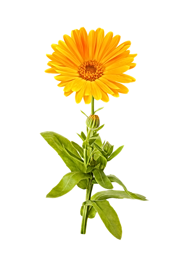 marigold-png-picture.png
