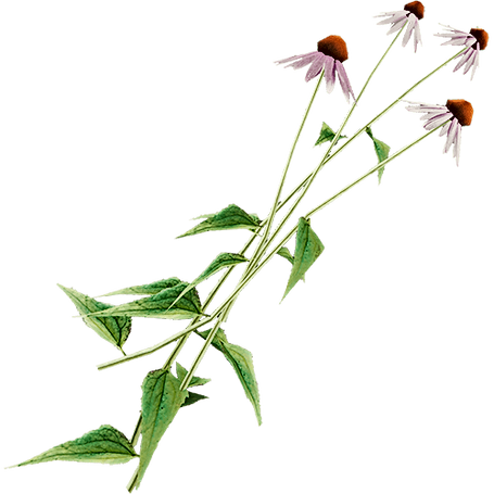 coneflower-official-the-forest-wiki-cone