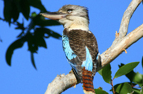 p-blue-winged-kookaburra.jpg