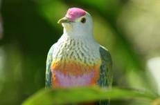 p-rose-crown-fruit-dove.jpg