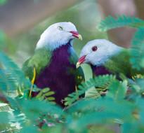 2016-wompoo-fruit-doves.jpg