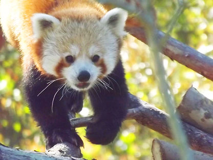 Red Panda 95 (1).jpg