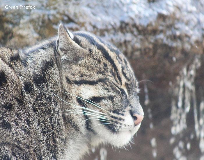 Fishing Cat Decal (Original)