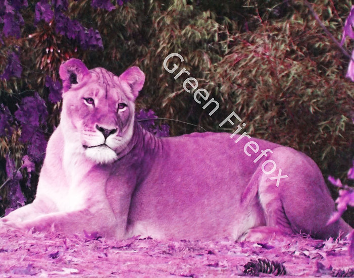 African Lioness Wall Decal (Color)