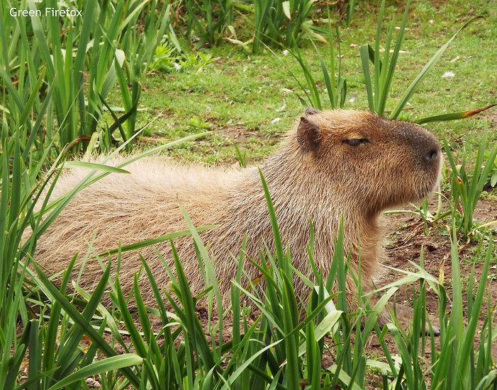 Capybara Decal (Original + 7 Colors)