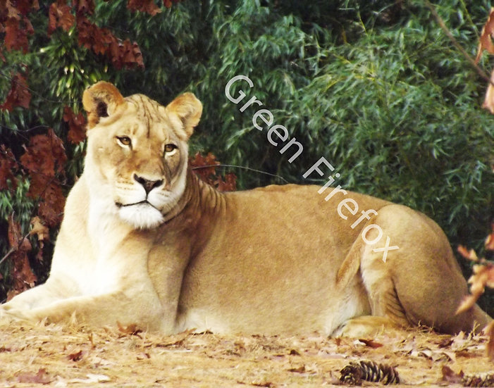 African Lioness Wall Decal (Original)