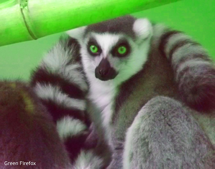 Ring-tailed Lemur Decal (7 Colors)