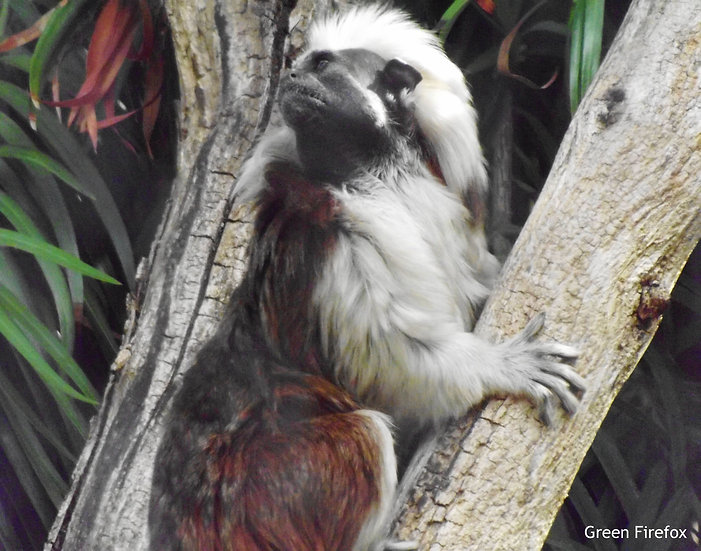 Cotton-top Tamarin Decal (Original + 5 Colors)