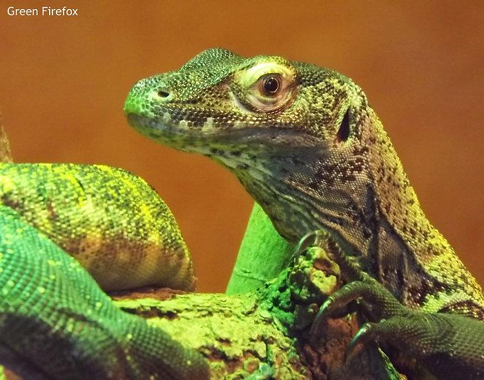 Komodo Dragon Decal (Original + 8 Colors)