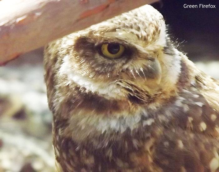 Burrowing Owl Decal (Original + 8 Colors)