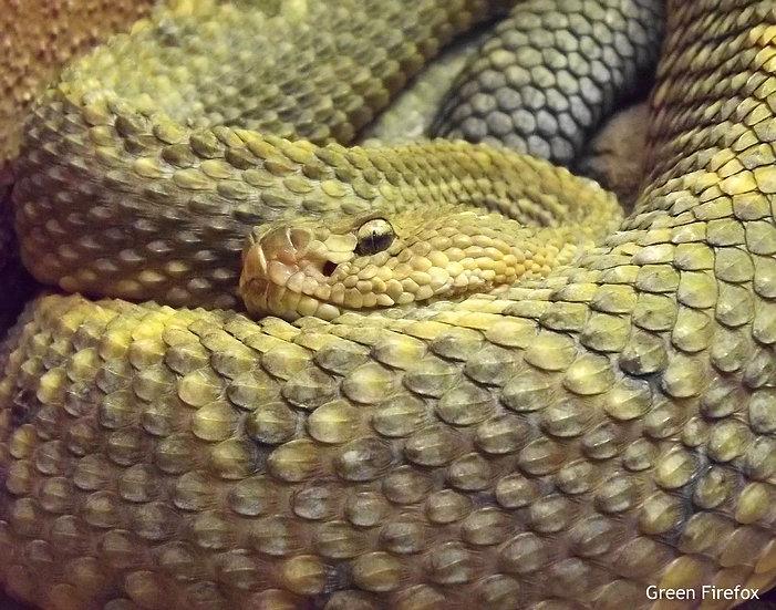 Aruba Island Rattlesnake Decal (Original + 8 Colors)