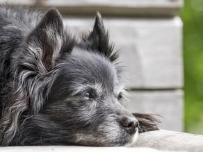 Adoção de cães adultos e idosos