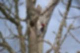 Red-Headed Woodpecker 4.1.2019 Pete Pete