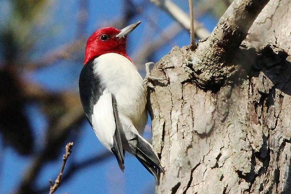 Red Headed Woodpecker NN Park Dec 26 201