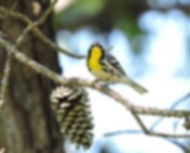 Yellow throated warble John Adair.jpg