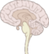 295px-Brain_human_sagittal_section.svg.p