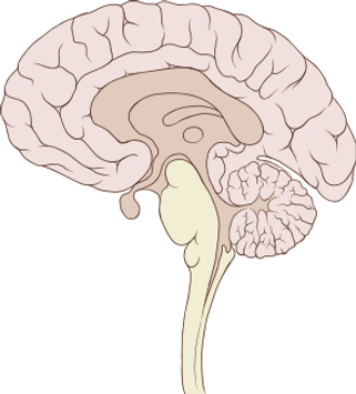 295px-Brain_human_sagittal_section.svg.p