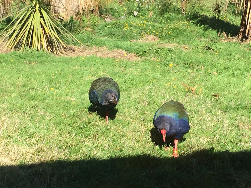 A pair oftakahē at the Te Anau Bird Sanctuary.