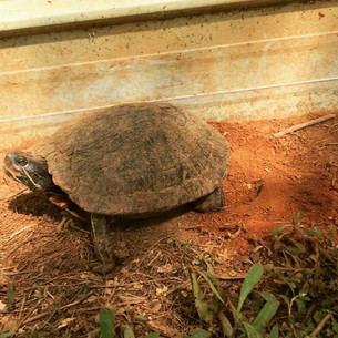 Happy World Turtle Day!  This is a Red Ear covering up her nest after laying on the farm.jpg