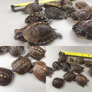 #boxturtle #turtle #turtlesofinstagram #easternboxturtle #educateyourself