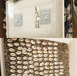 Making a shipment today of 100s of turtle eggs that will be used for medical research!  Multiple species of fertile eggs.jpg