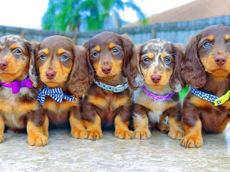 Prolific dachshund pups home  Dachshund puppies for sale- long hair dachshund puppies for sale