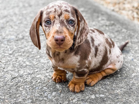 Our Trending female miature dachshund puppies available.