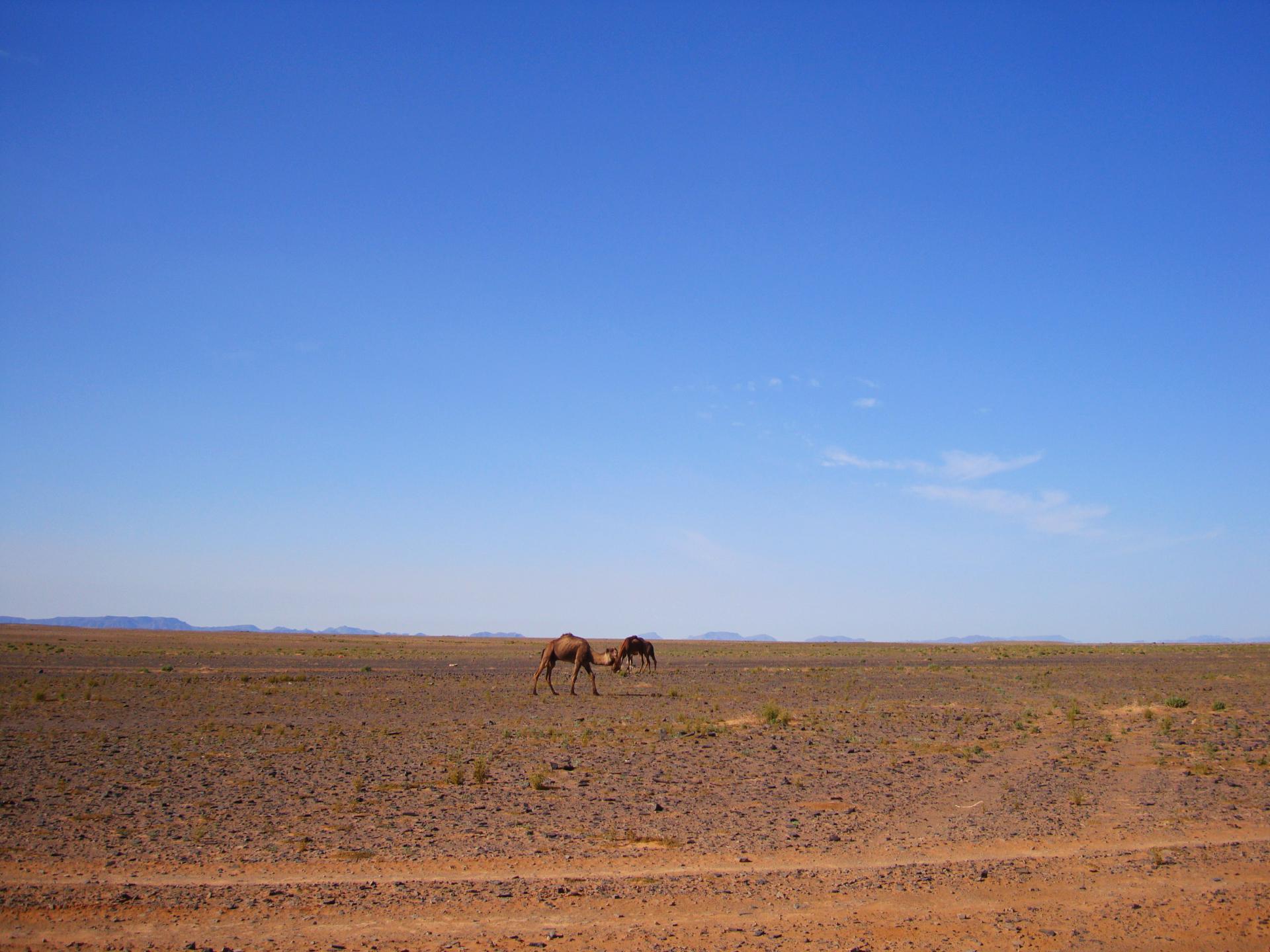 Chameau désert Maroc