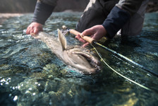 Giant bull trout next to fly rod in fly fishermans hands