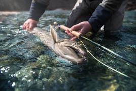 Big bull trout in hands of a fly fisherman holding a spey rod on a remote river in Canada