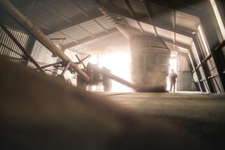 Wheat farmer emptying grain truck into auger ran by old John Deere tractor in a dry storage bin