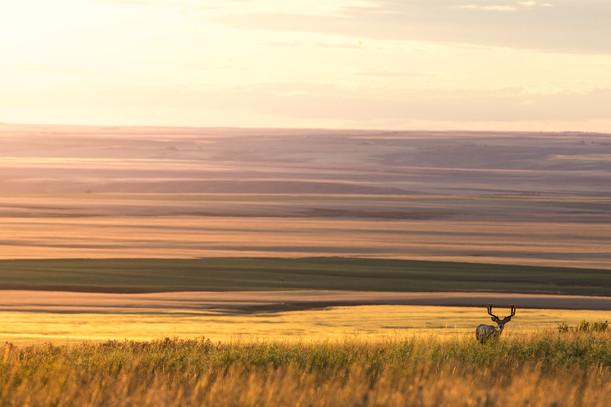 velvet antlered spring mule deer over looking Montana golden prairie lands