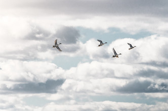 Pintails migrating past Freezeout lake in Montana
