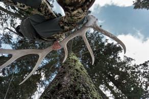 shed hunter walking through timber with bull elk antler in hand wearing sitka gear subalpine