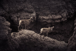 Two bighorn sheep lambs standing on a ridge between clay pillars in the Badlands National Park