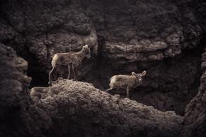 two bighorn lambs walk down ridge in badlands national park