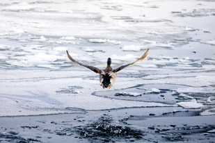 mallard drake flying away out of icefield