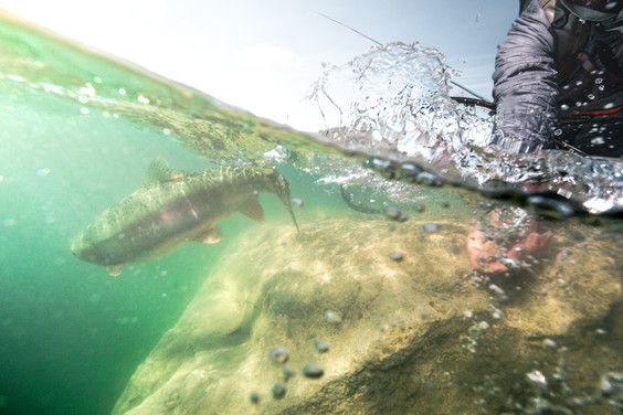 Rainbow trout getting released underwater off boulder in Central Montana durring the spring
