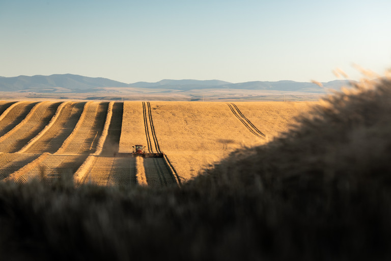 Swathing wheat in Central Montana Golden Triangle
