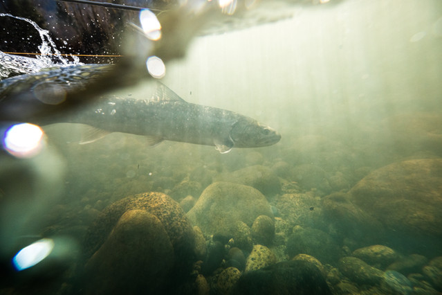 Bull trout swimming away underwater shot as fisherman released the fish