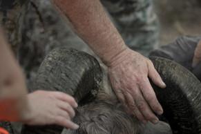 two sheep hunters feel horns of rocky mountain bighorn ram in the missouri breaks