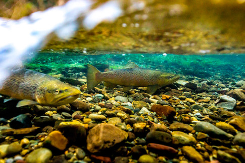 Underwater brown trout in a creek