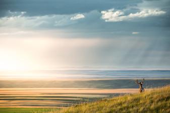 velvet antlered spring mule deer over looking Montana prairie lands
