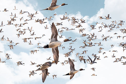 pintail master photo wide.jpg