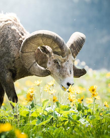 Wild Horse Island Bighorn Sheep ram eating wild flowers in the summer on Flathead Lake