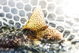 rainbow trout tail green in the crystal blue waters in a net