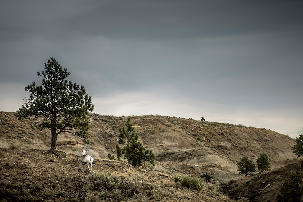 Young bighorn sheep ram stands on ridge looking back in the Missouri river breaks