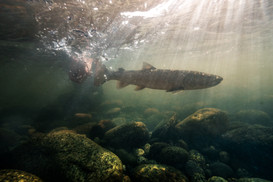 Underwater release of giant Bull Trout from a remote river fishermans hand