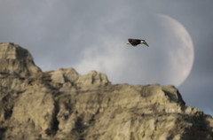 Bald eagel flying high above Montanas Missouri river breaks national monument with moon in background
